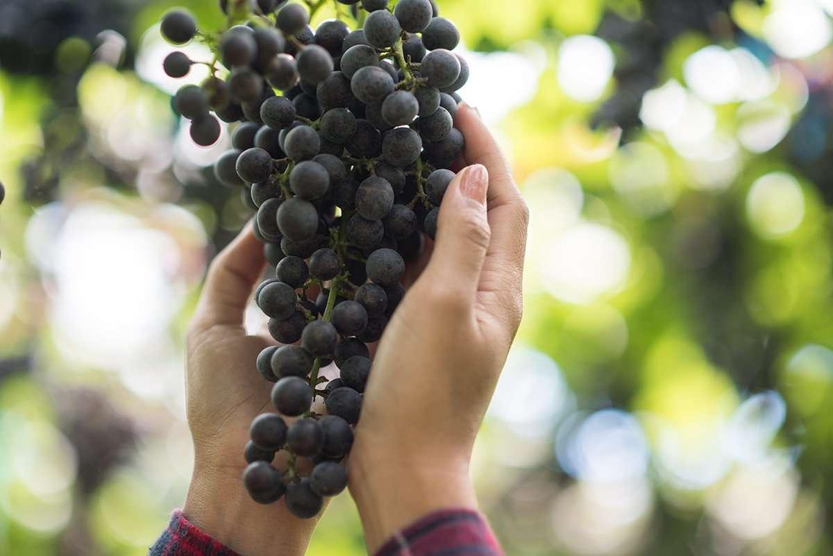 vendimia de uvas